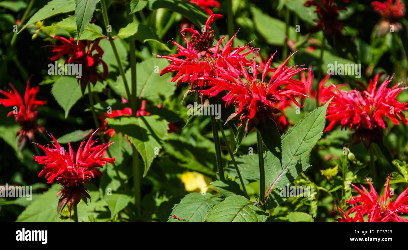 bright red flowers of Monarda or Bee Balm in perennial garden - Stock Image