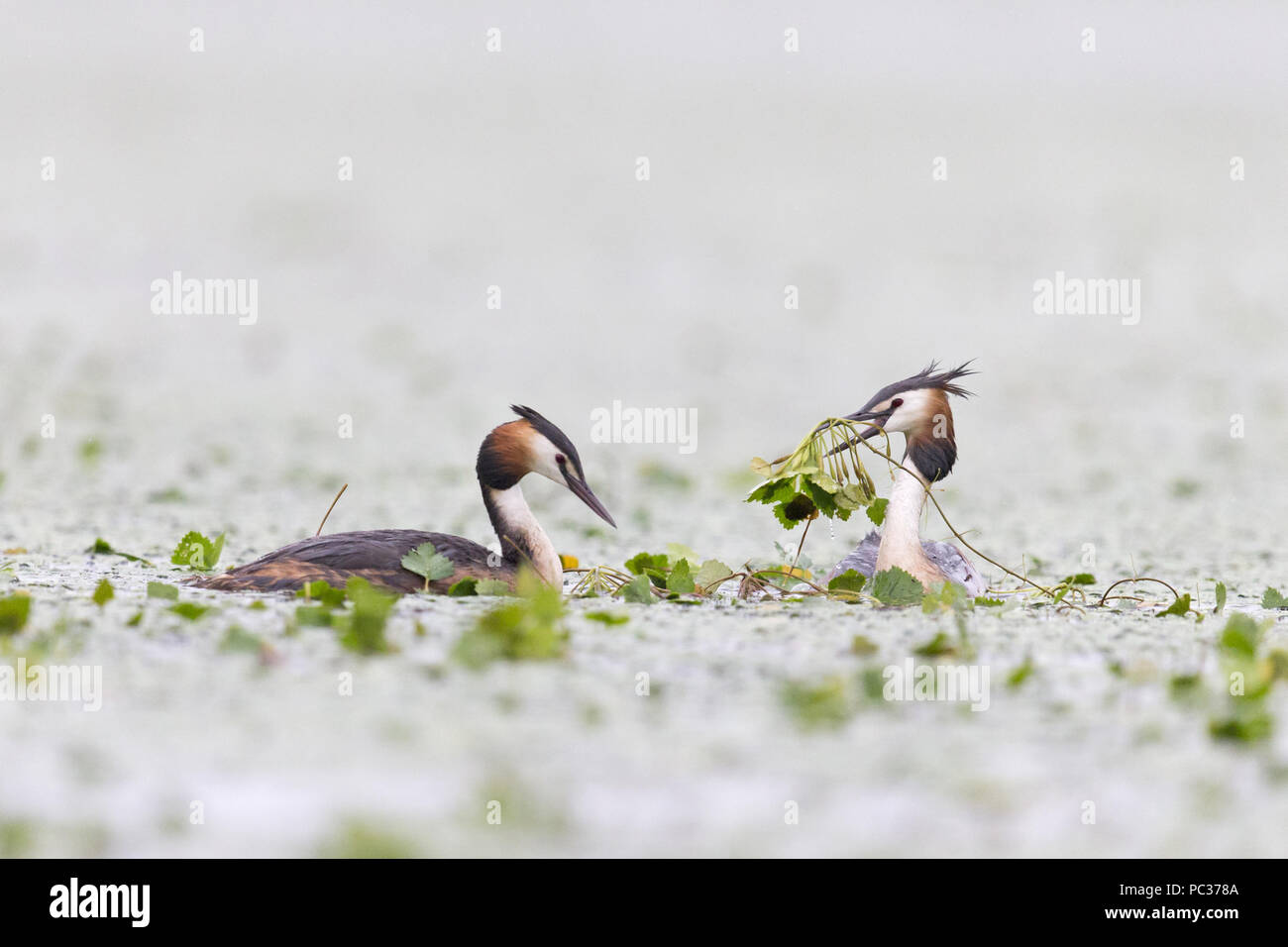 Great Crested Grebe (Podiceps cristatus) adult pair, swimming, nest building, Danube Delta, Romania, June - Stock Image
