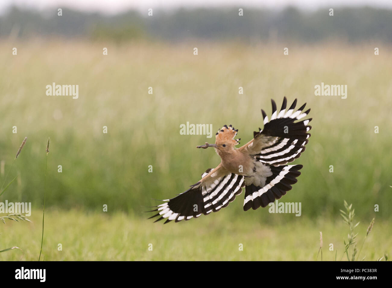 Eurasian Hoopoe (Upupa epops) adult, flying, with caterpillar in beak, Hortobagy N.P., Hungary, May Stock Photo