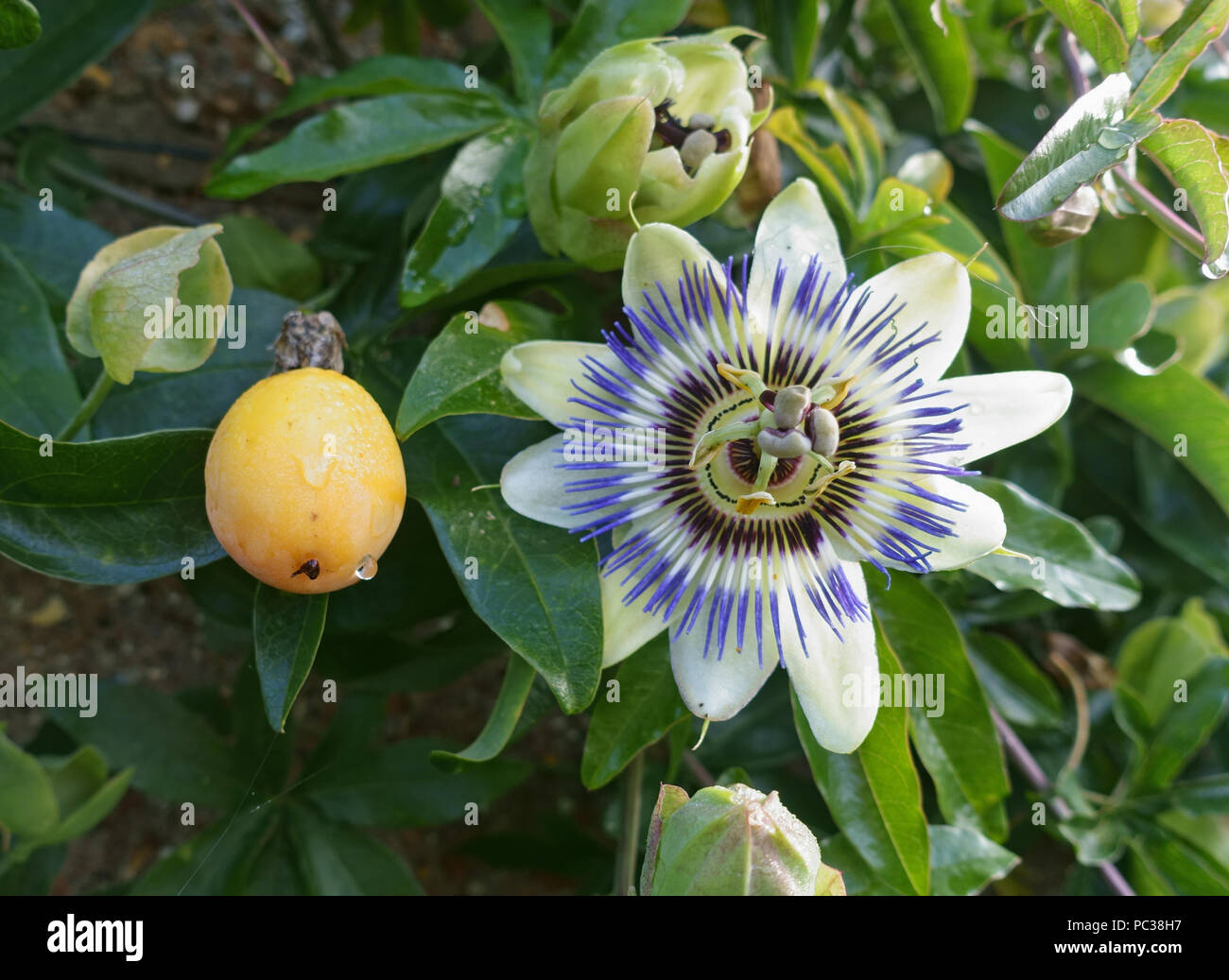 Fruit And Flower Of An Ornamental Blue Passion Flower Passiflora