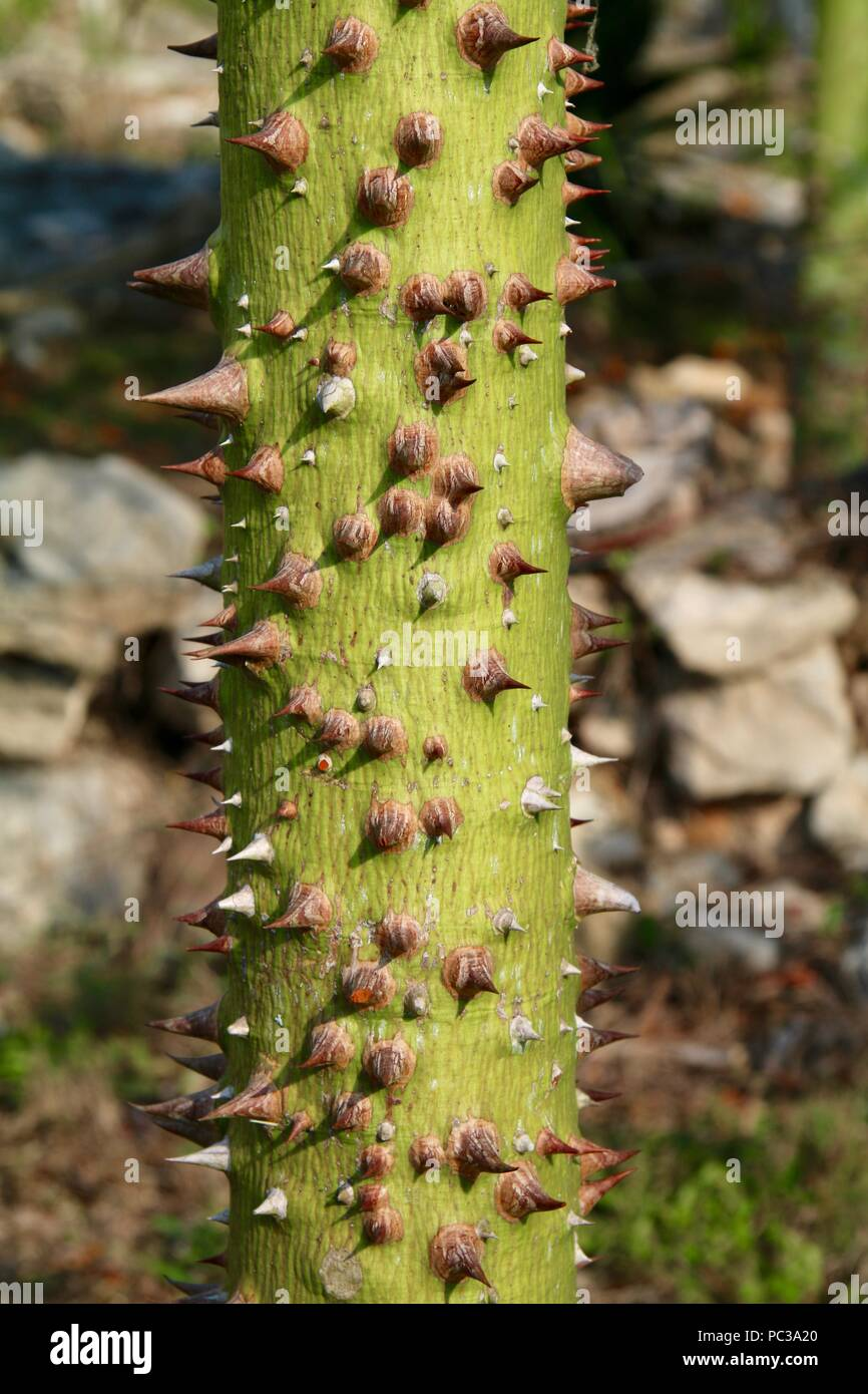 A Ceiba tree, sacred to the Mayans thorny trunk - Stock Image