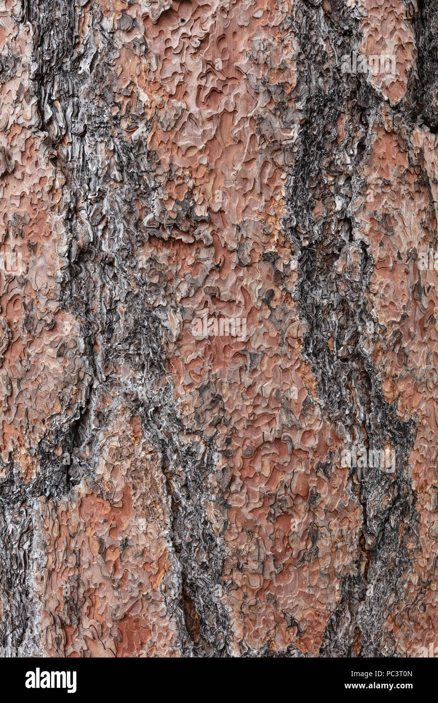 Ponderosa Pine Tree Bark - AZ - Stock Image