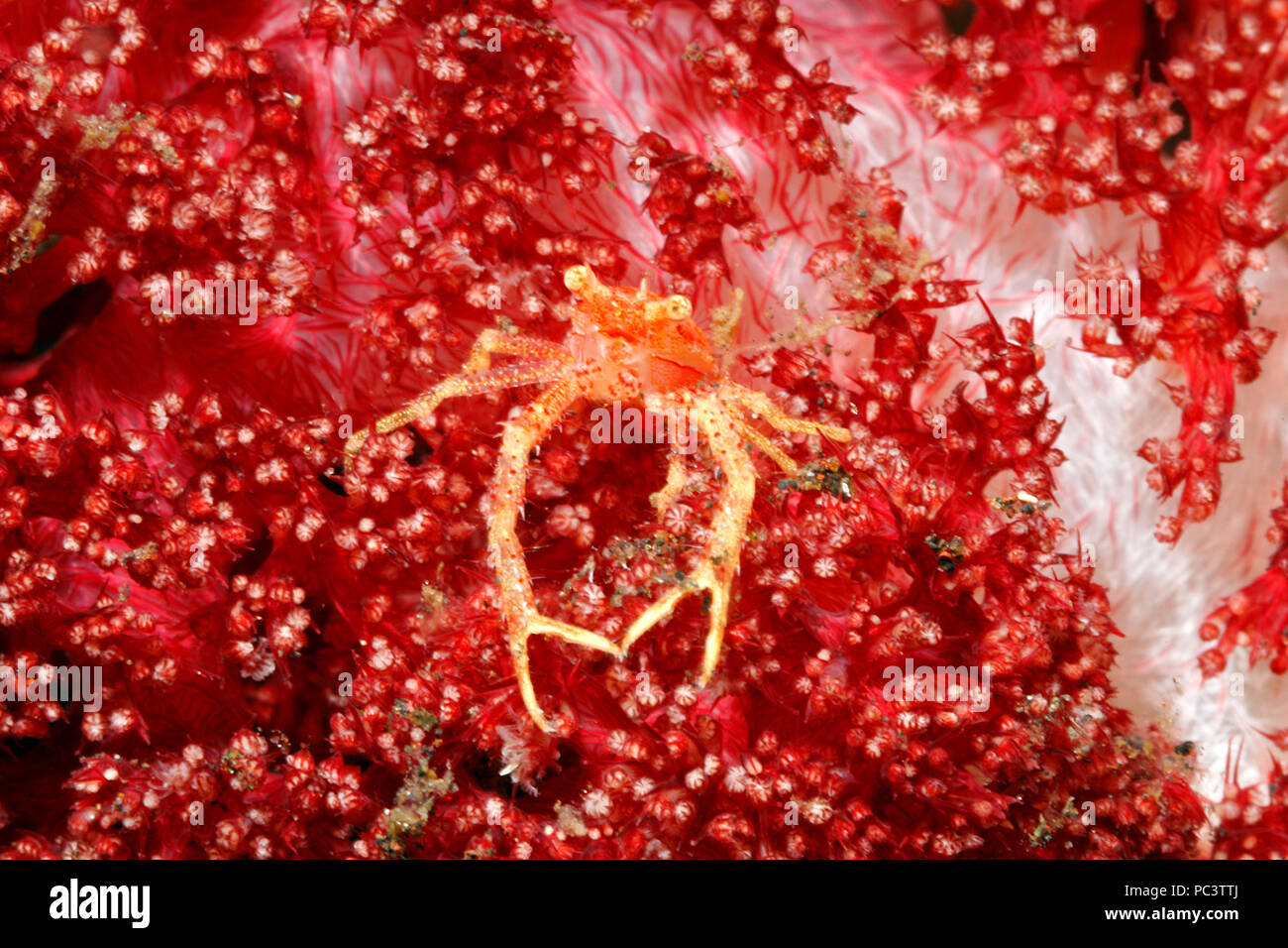 Squat Lobster, Galathea sp, living in red soft corals. Tulamben, Bali, Indonesia. Bali Sea, Indian Ocean - Stock Image