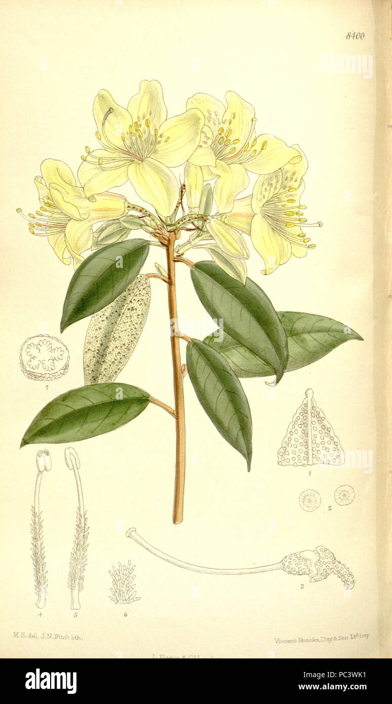 519 Rhododendron ambiguum 137-8400 - Stock Image