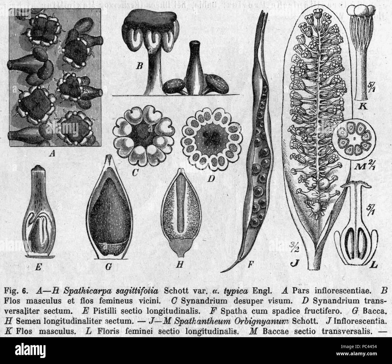 568 Spathicarpa hastifolia morphology Pflanzenreich - Stock Image