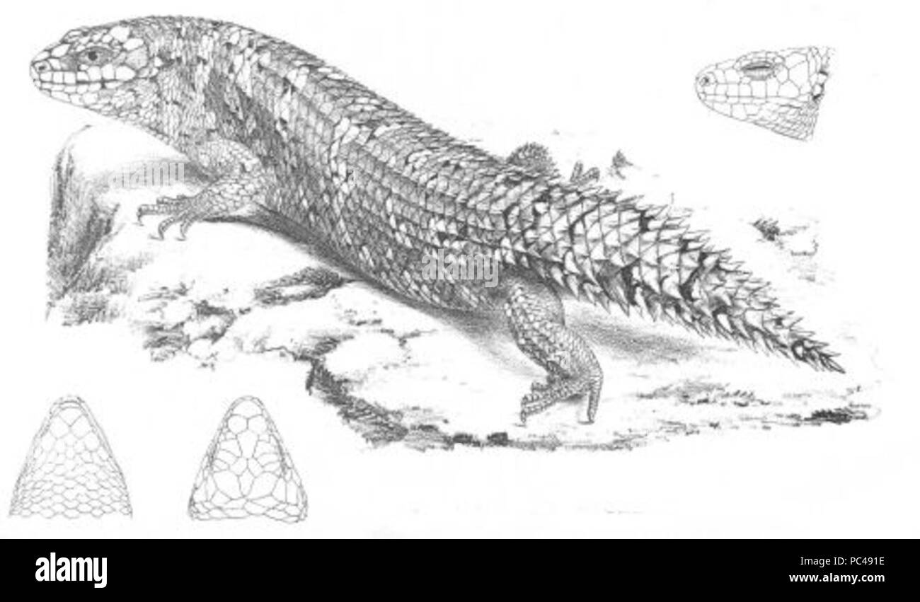 559 Silubosaurus Stokesii (Discoveries in Australia) - Stock Image