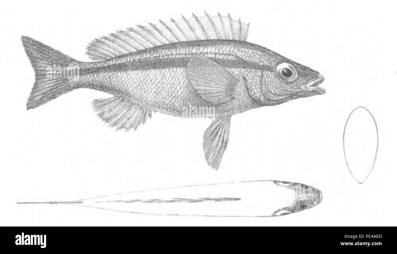564 Smaris porosus (Discoveries in Australia) - Stock Image