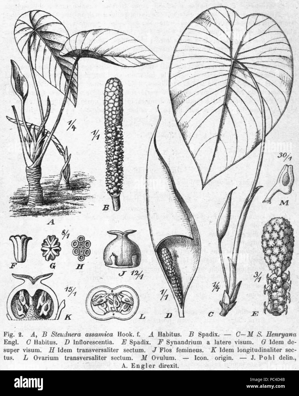 576 Steudnera assamica Pflanzenreich - Stock Image
