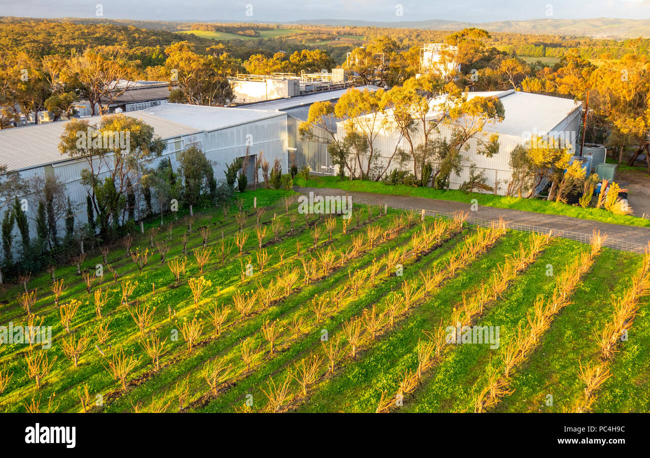 Vineyard and sheds of D'arenberg Winery, Mclaren Vale, SA, Australia. - Stock Image