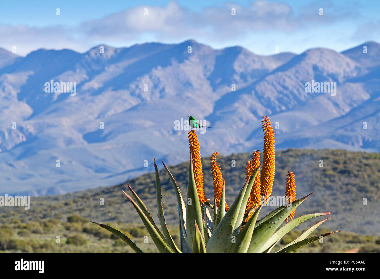 Flowering Aloe with mountains - Stock Image