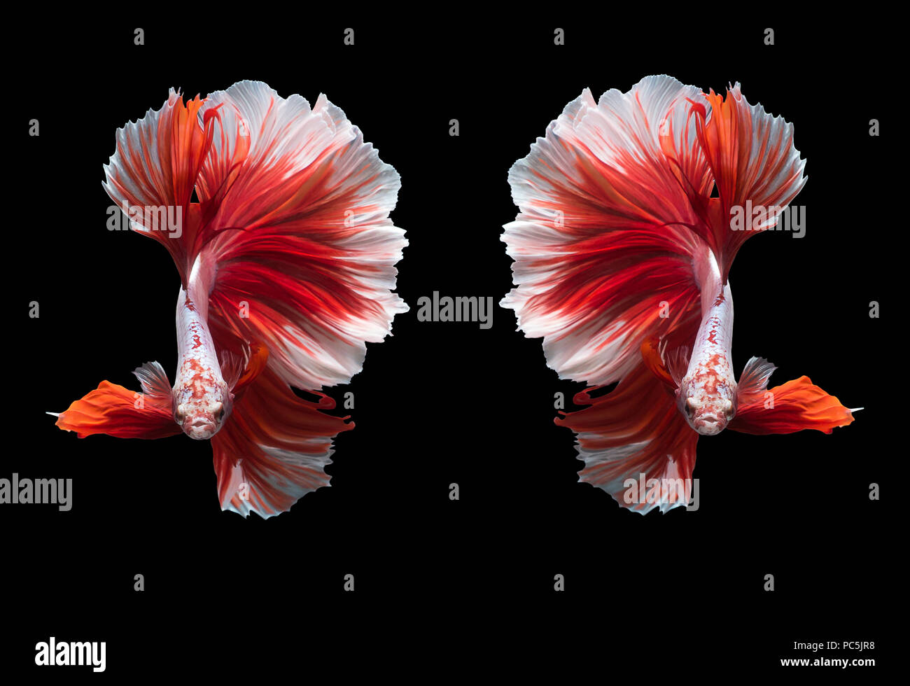 Capture the moving moment of white siamese fighting fish isolated on black background Stock Photo