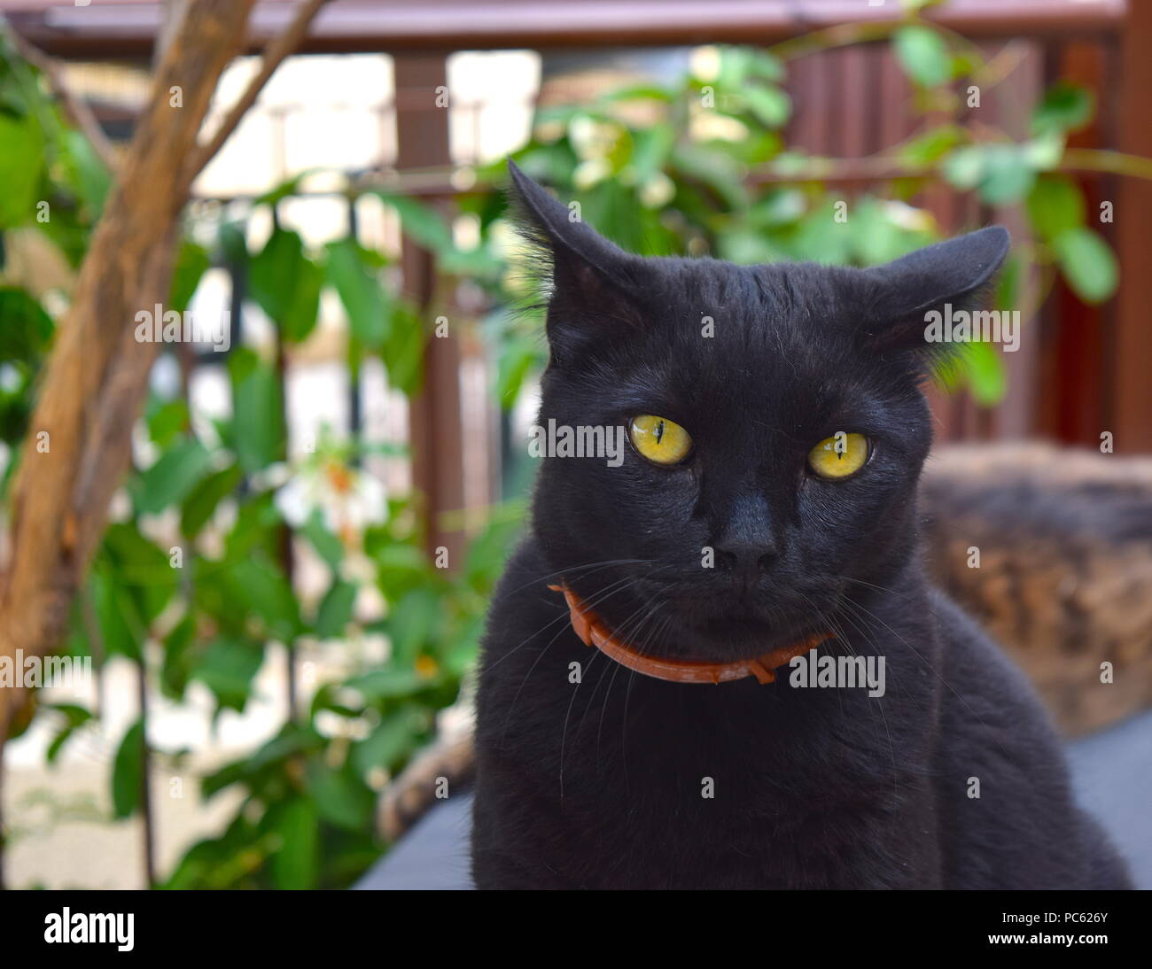 Black cat with amber eyes Stock Photo