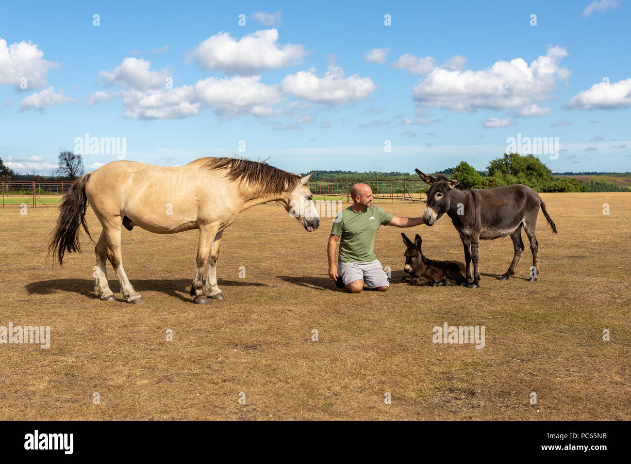 Godshill, Hampshire, UK, 31st July 2018, Weather: A holidaymaker makes some animal friends under blue skies and fluffy white clouds on the New Forest as summer makes a return after just a 3 day respite for cool wind and rain. Temperatures are on the rise again across southern England. Credit: Paul Biggins/Alamy Live News - Stock Image