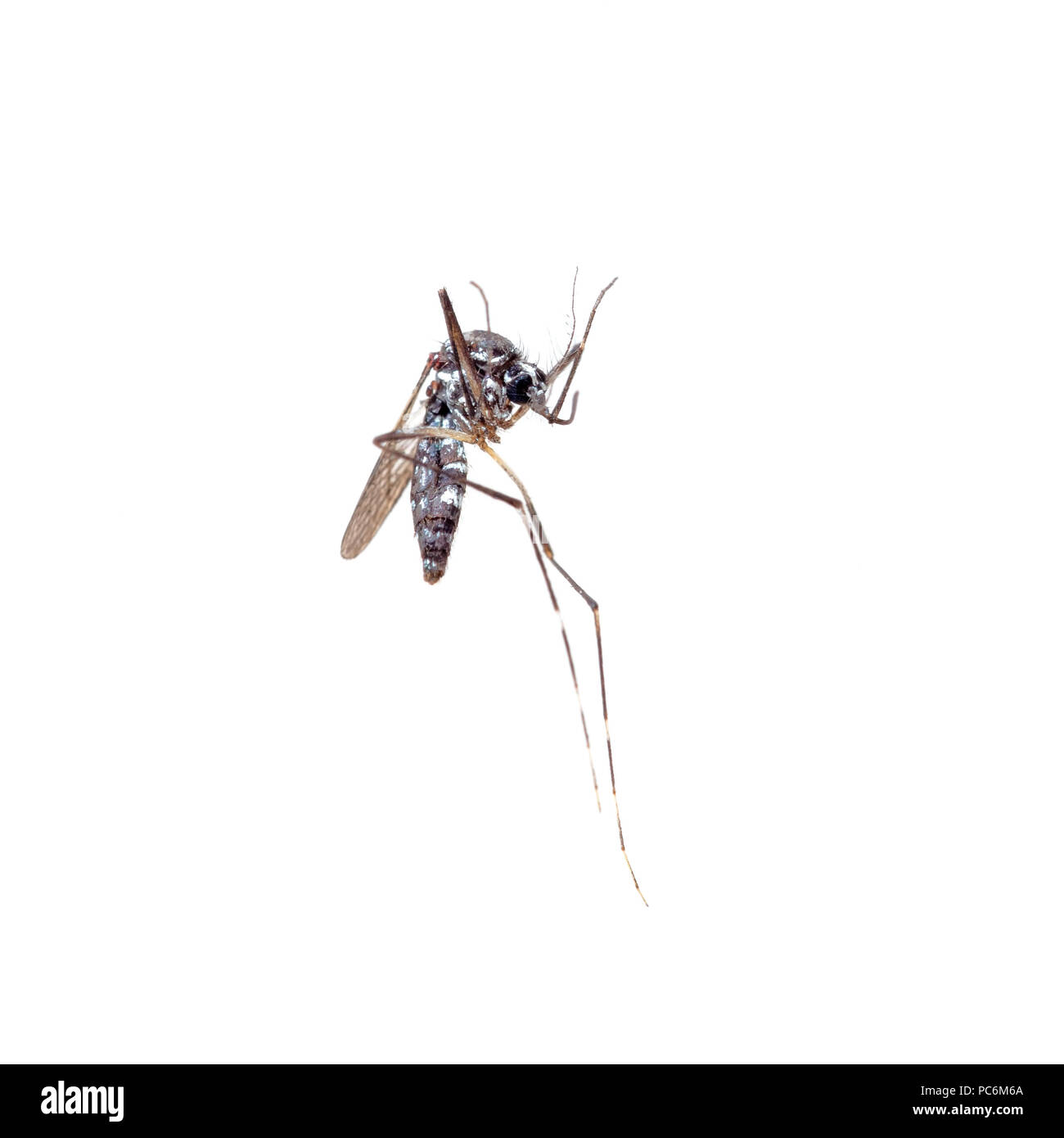 Dead Asian Tiger Mosquito, Aedes albopictus, macro on white background. A transmitter of many viral pathogens, including yellow fever virus, dengue fever, and Chikungunya fever. - Stock Image
