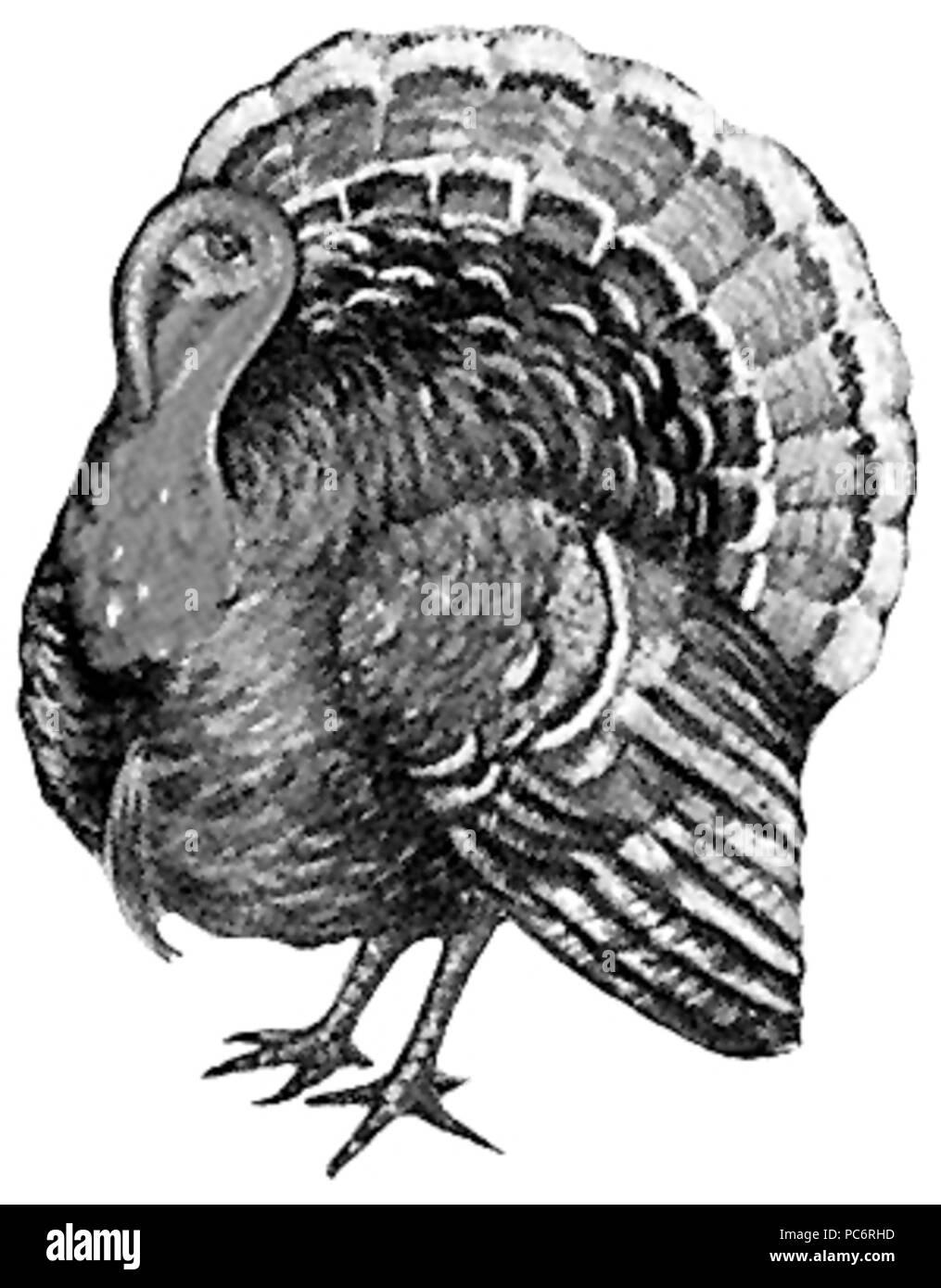 617 Turkey (bird) - B&W drawing Stock Photo