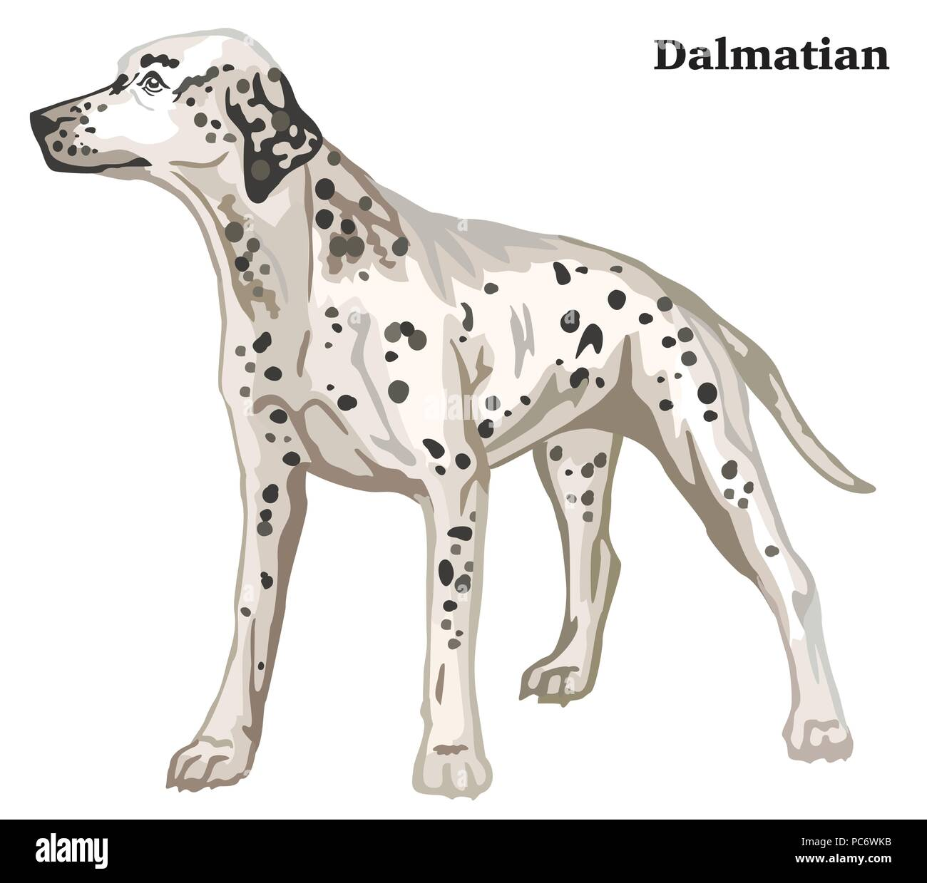 Portrait of standing in profile Dalmatian dog, vector colorful illustration isolated on white background - Stock Vector