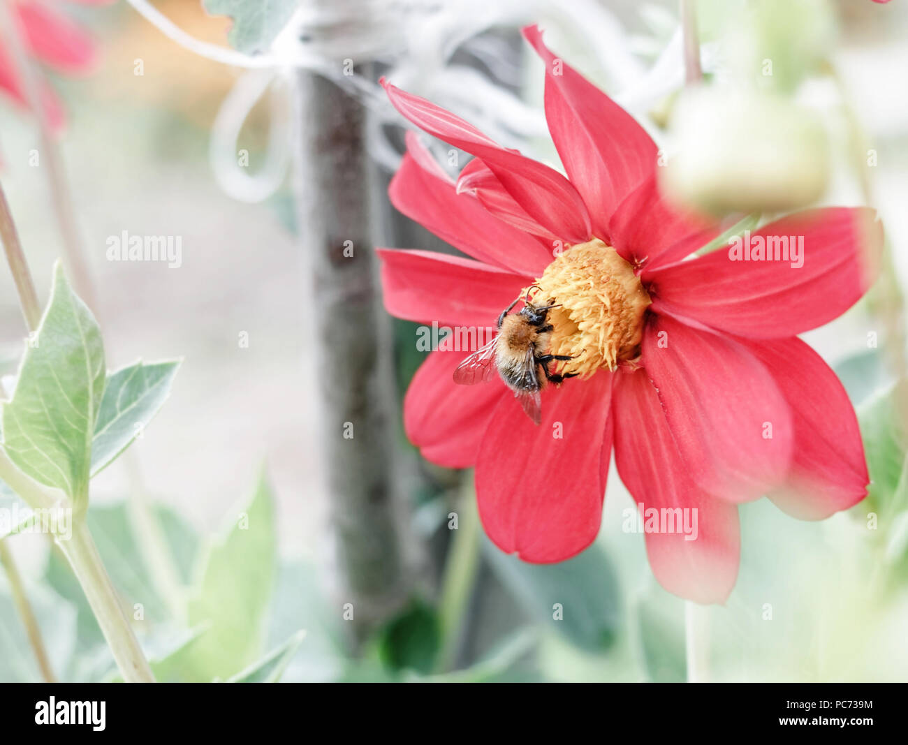Bee on red flower dahlia at summer garden - Stock Image