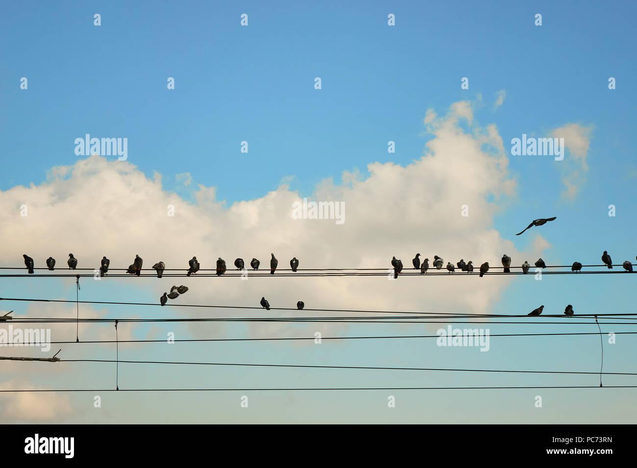 power line,pigeons - Stock Image