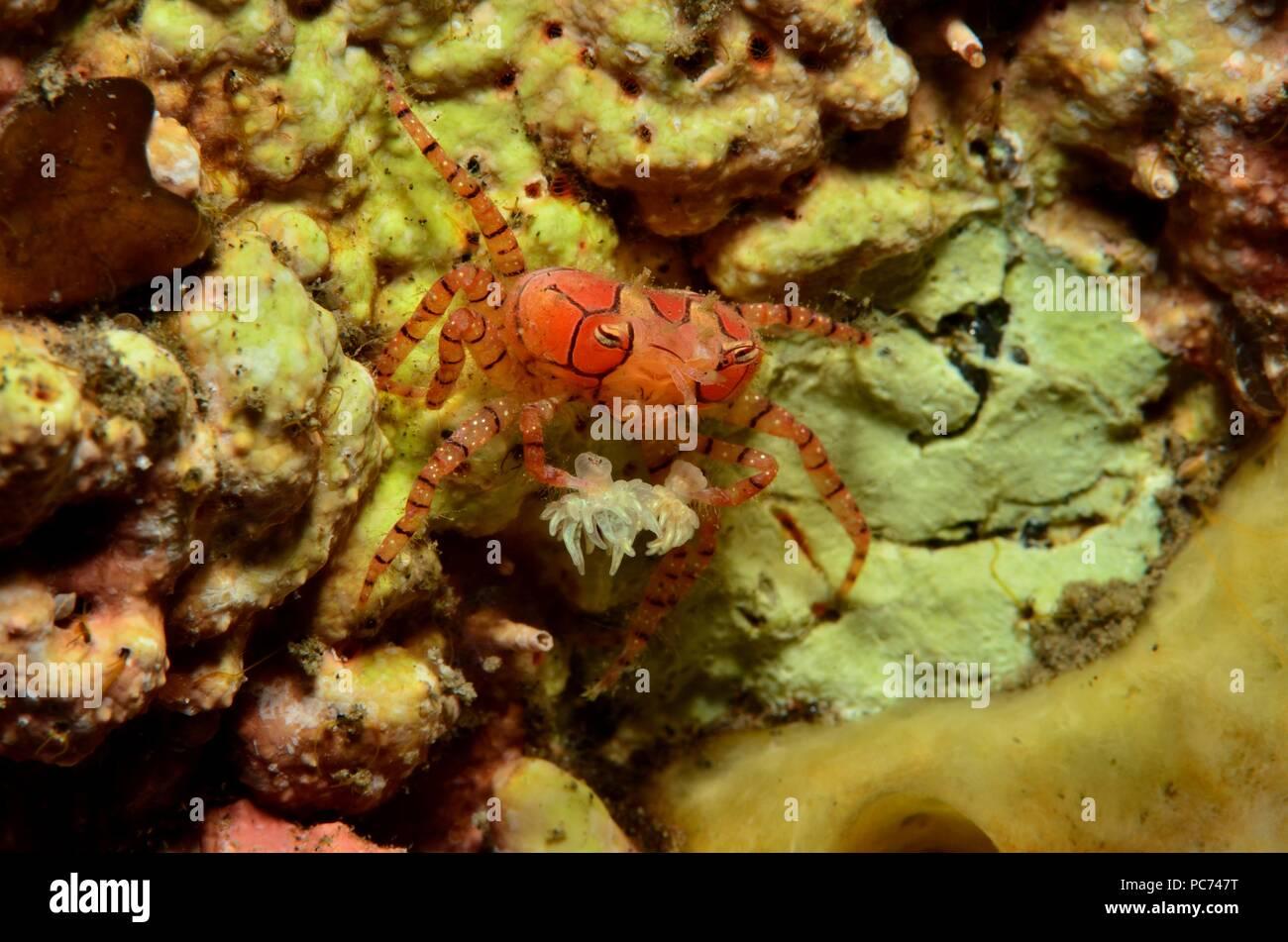 boxer or pom pom crab, Boxer-Krabbe, Lybia tesselata - Stock Image