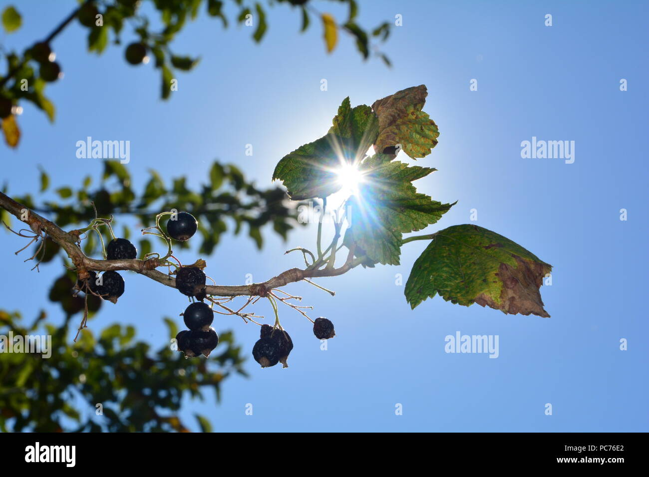 Dried berries with leaves on the branch in front of blue sky with sunrays - Stock Image