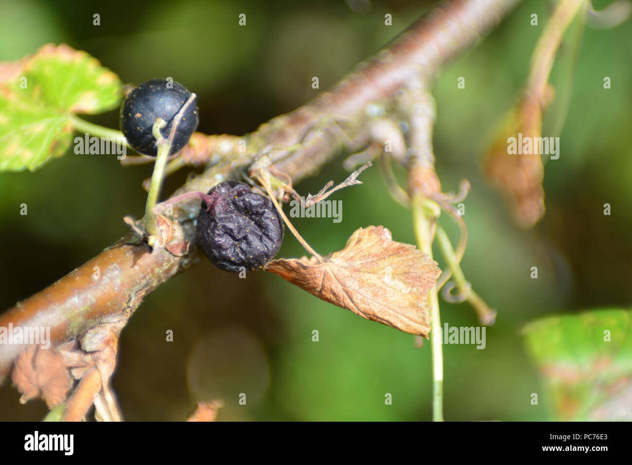 Black dried berries with brown leaves on the branch - Stock Image