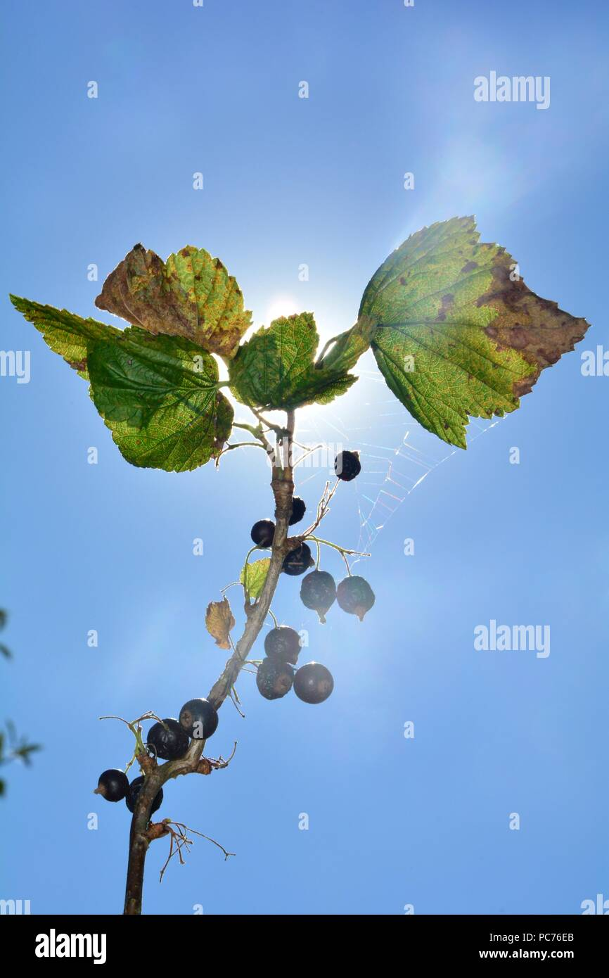 Dried berries with brown leaves on the branch in front of blue sky with sun and many copy space - Stock Image