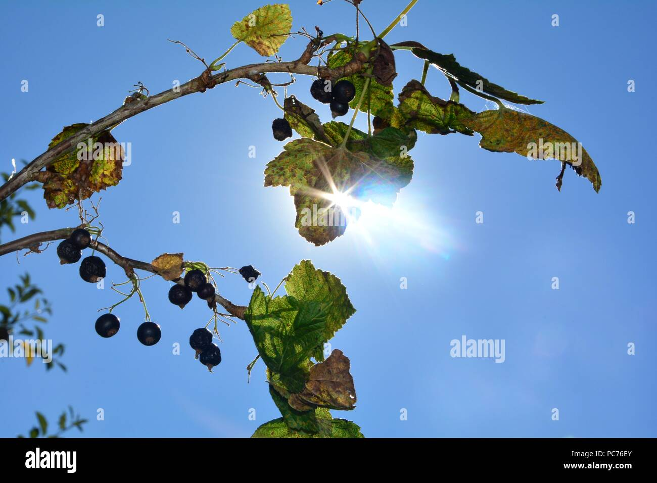Dried berries with brown leaves on the branch in front of blue sky with sunray - Stock Image