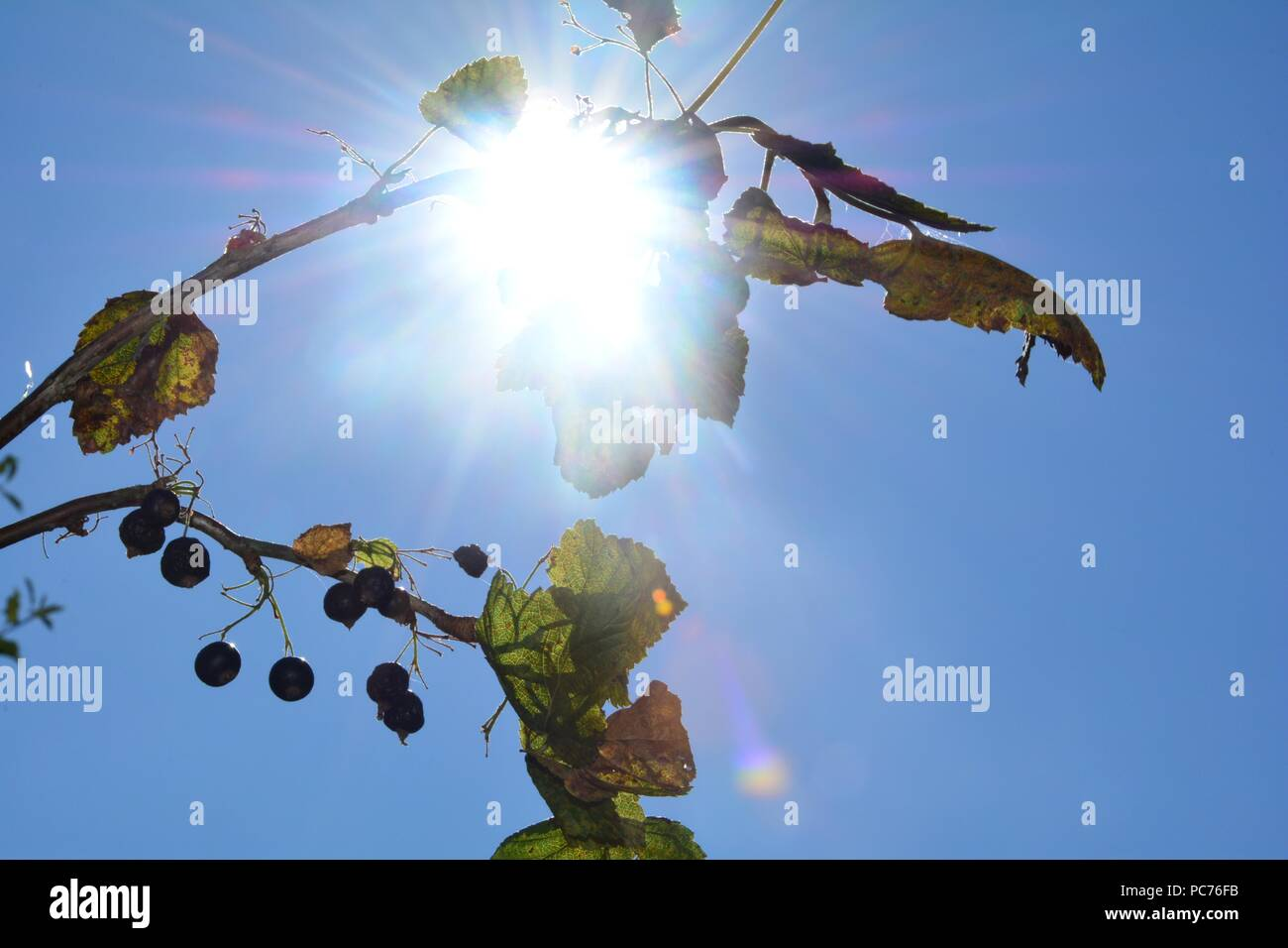 Black dried berries with brown leaves on the branch in front of blue sky with sunrays - Stock Image