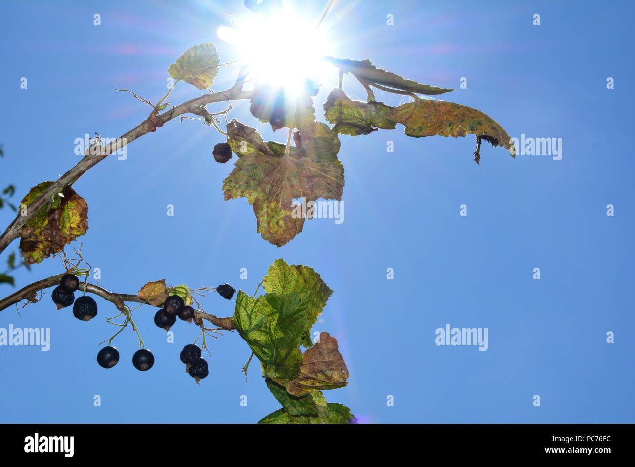 Dried berries with brown leaves on the branch in front of blue sky with sunrays - Stock Image