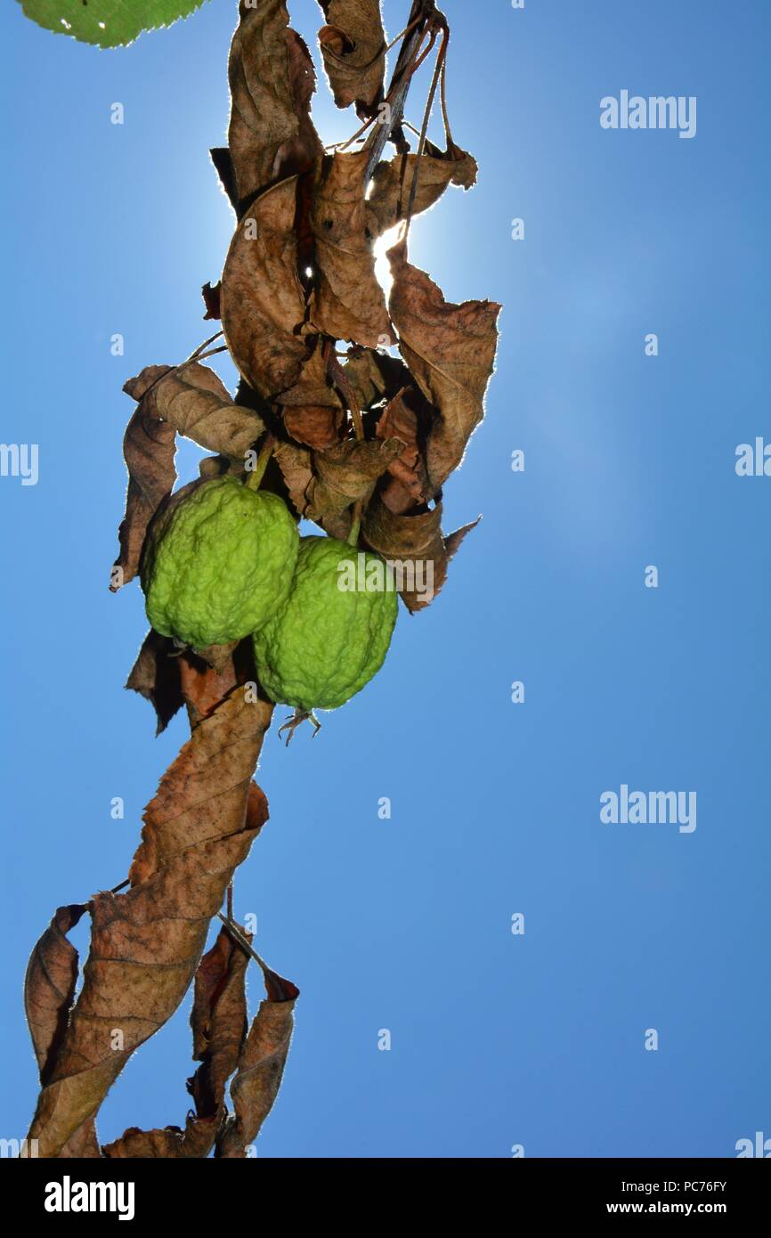 Two dried out apples with dry brown leaves in front of a blue sky with sun - Stock Image