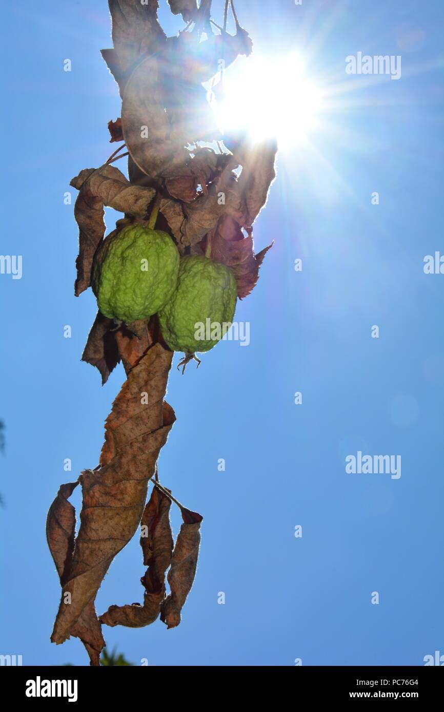 Two dried out apples with dry brown leaves in front of a blue sky with sunrays - Stock Image