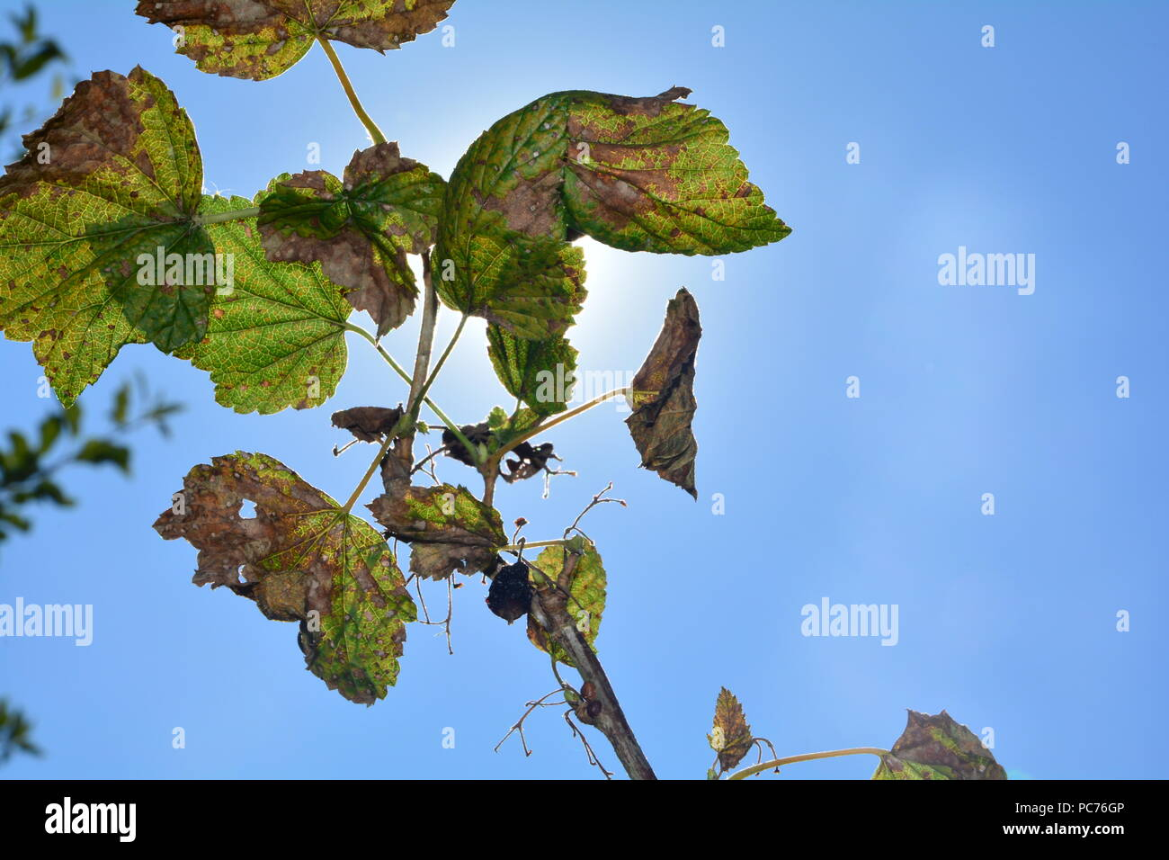Black dried berries with  leaves on the branch in front of blue sky with sun and copy space - Stock Image