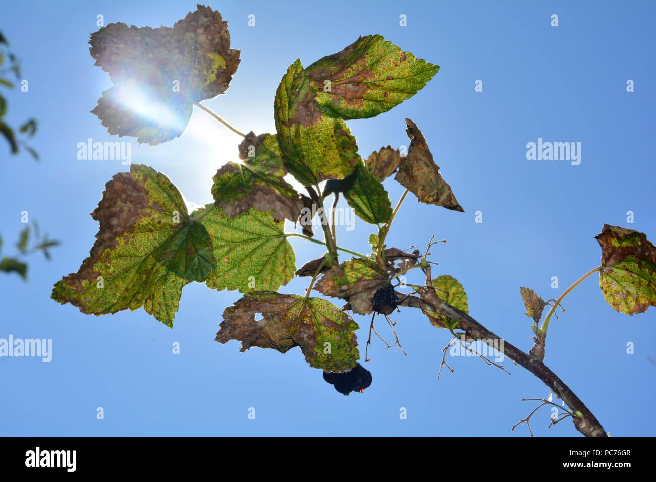 Black dried berries with brown leaves on the branch in front of blue sky with sunshine - Stock Image
