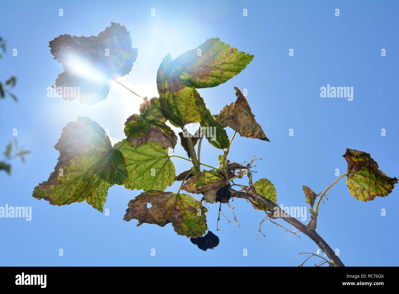 Dried black berries with brown and green leaves on the branch in front of blue sky with sun - Stock Image
