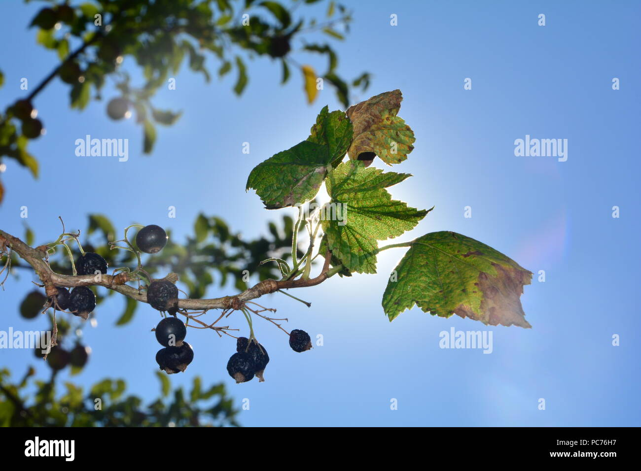 Dried berries with brown leaves on the branch in front of blue sky with sun - Stock Image
