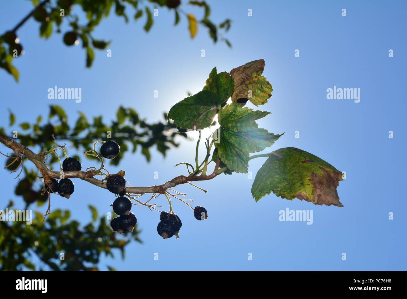 Black dried berries with brown leaves on the branch in front of blue sky with sun - Stock Image