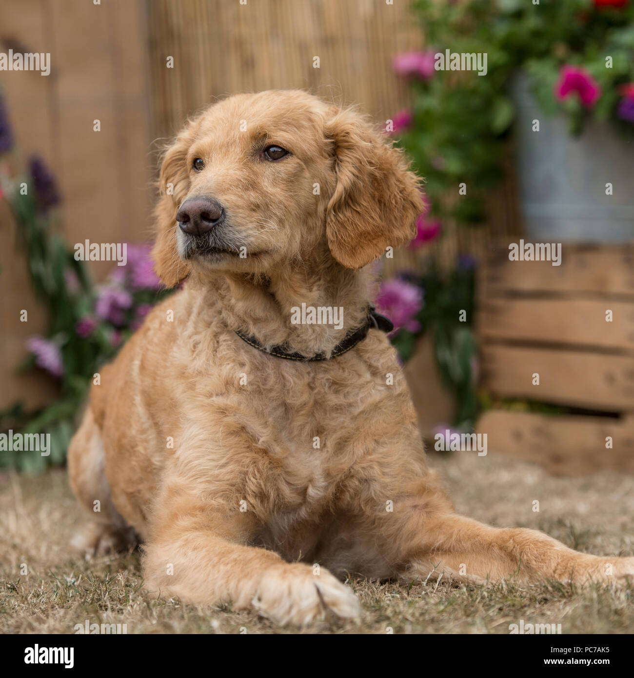 goldendoodle - Stock Image