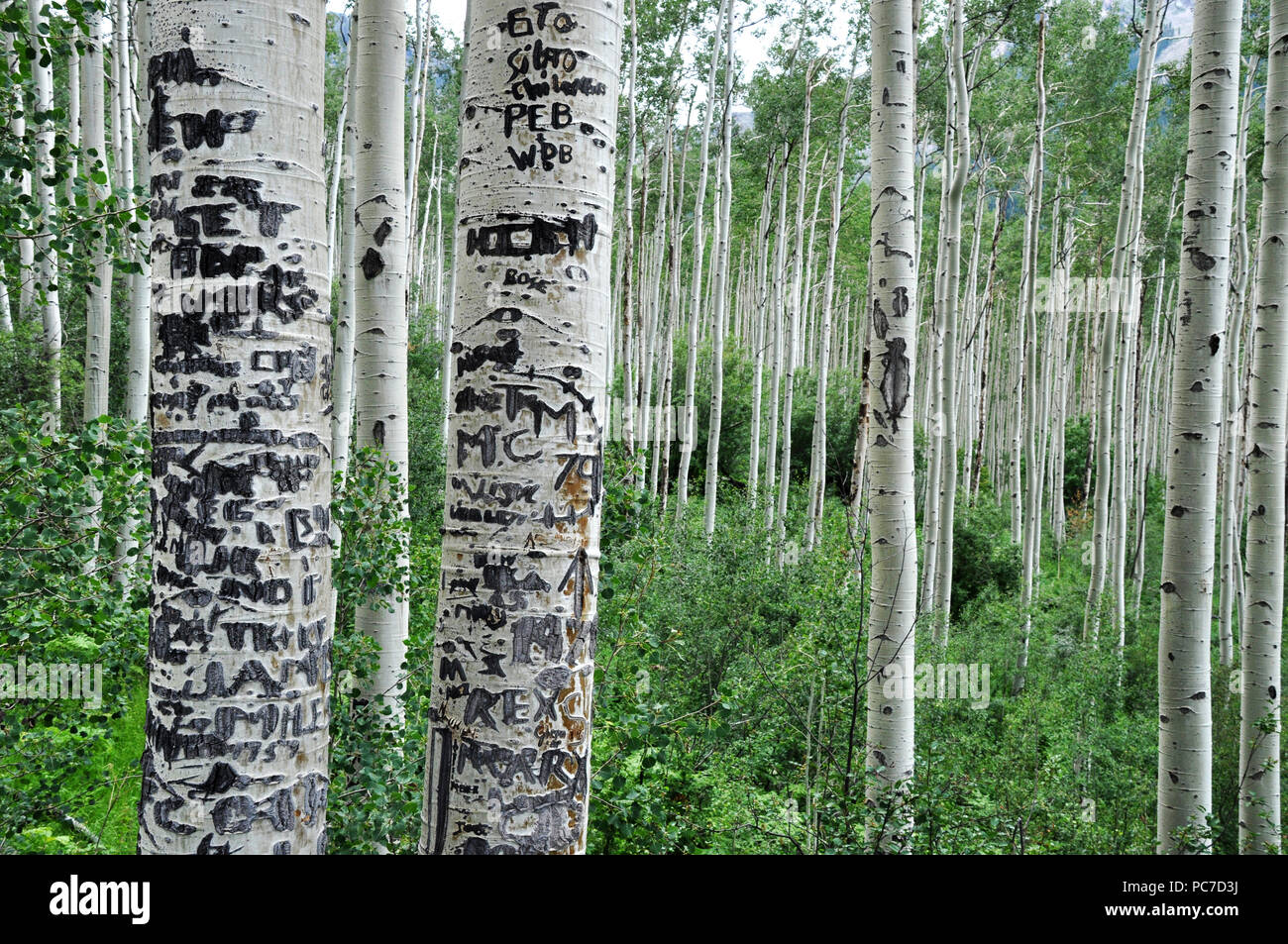 birch tree,birch forest,birch - Stock Image