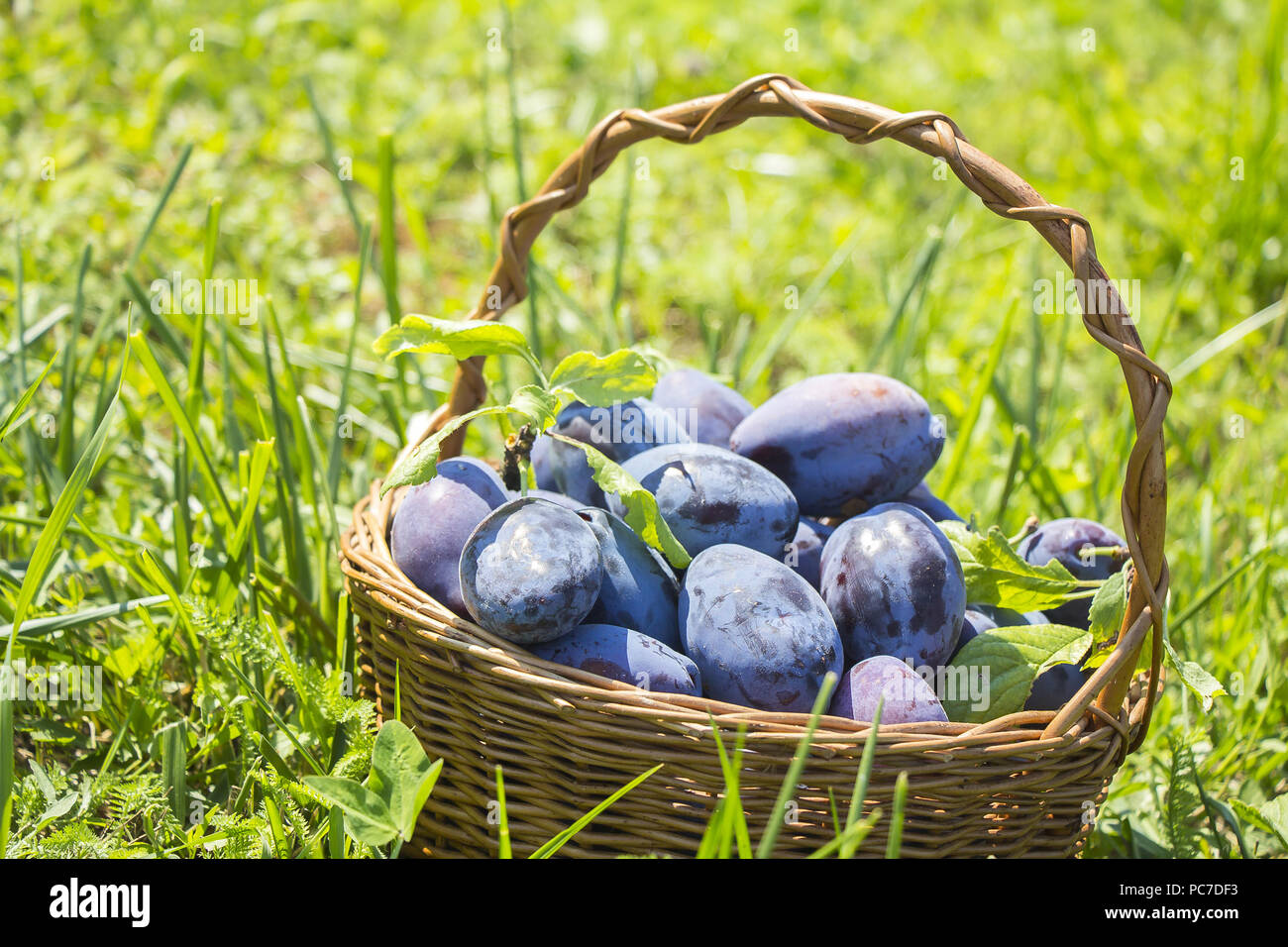 Plums in the wooden basket on green grass Stock Photo
