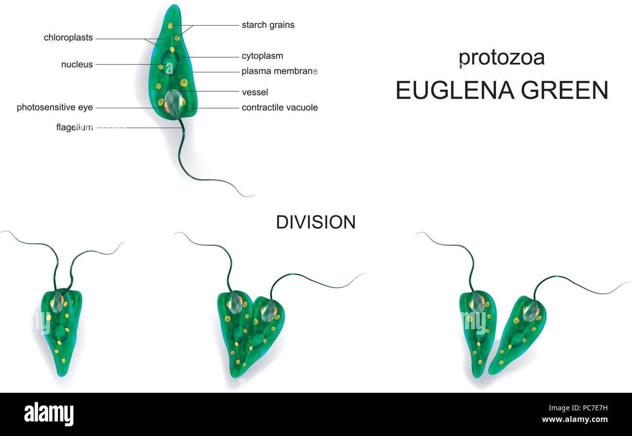 vector illustration of a Euglena green. protozoa Stock Vector Art ...
