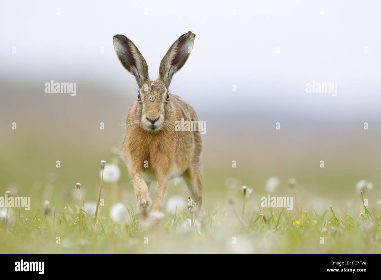 European Hare (Lepus europaeus) adult running through dandelion patch, South Norfolk, UK. May. - Stock Image