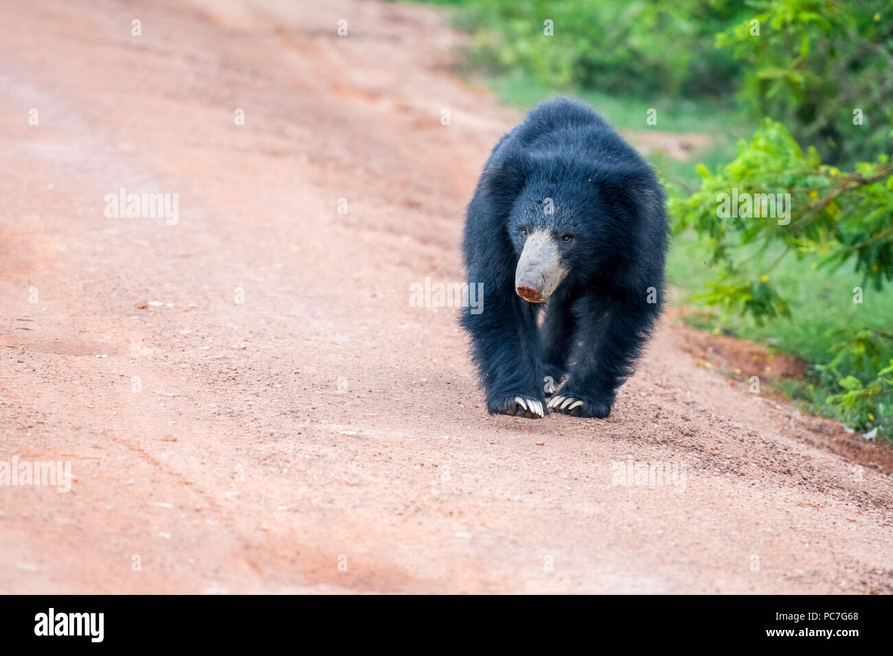Sri Lankan bear in the jungle Stock Photo