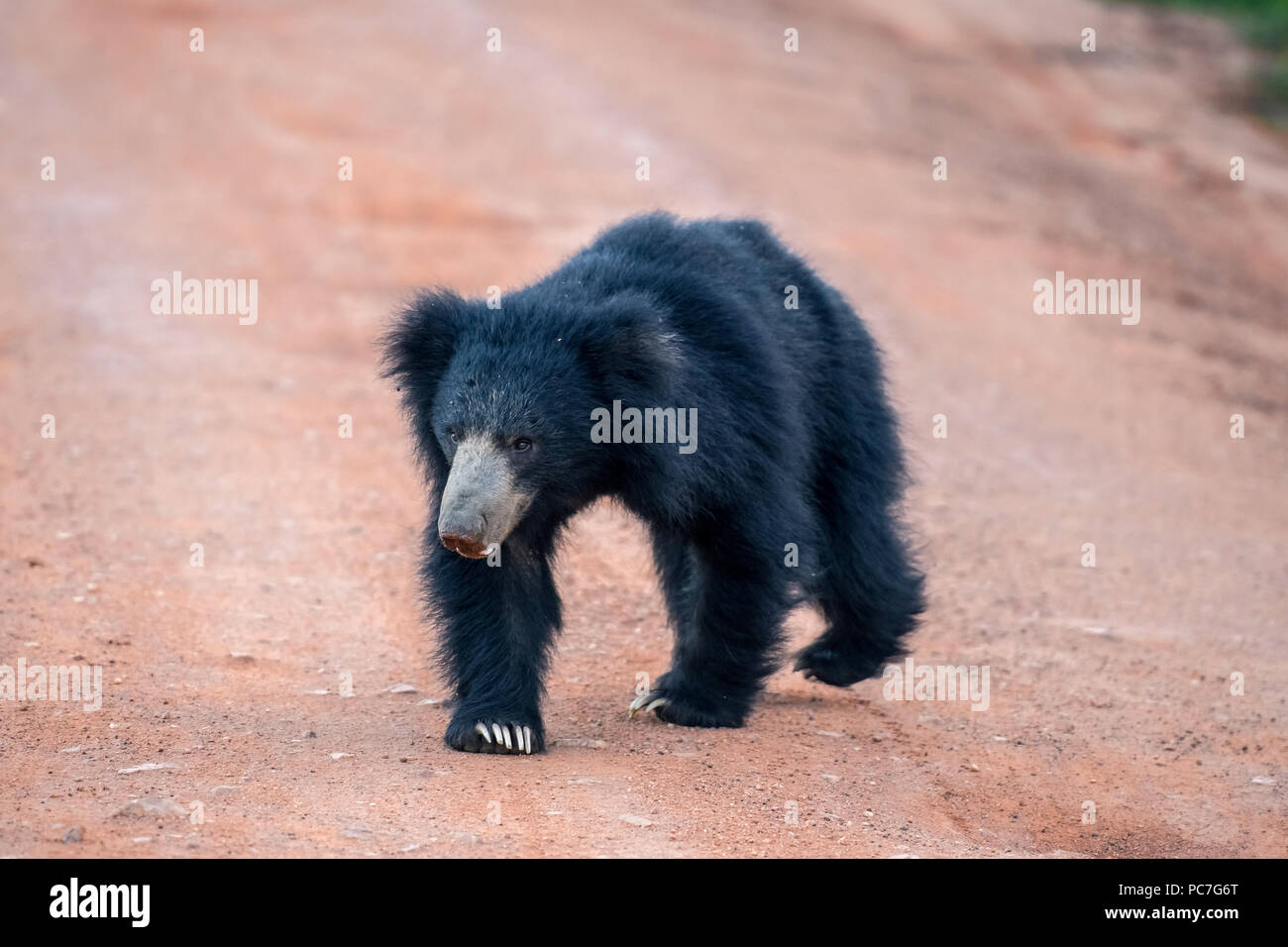 Sri Lankan bear in the jungle - Stock Image