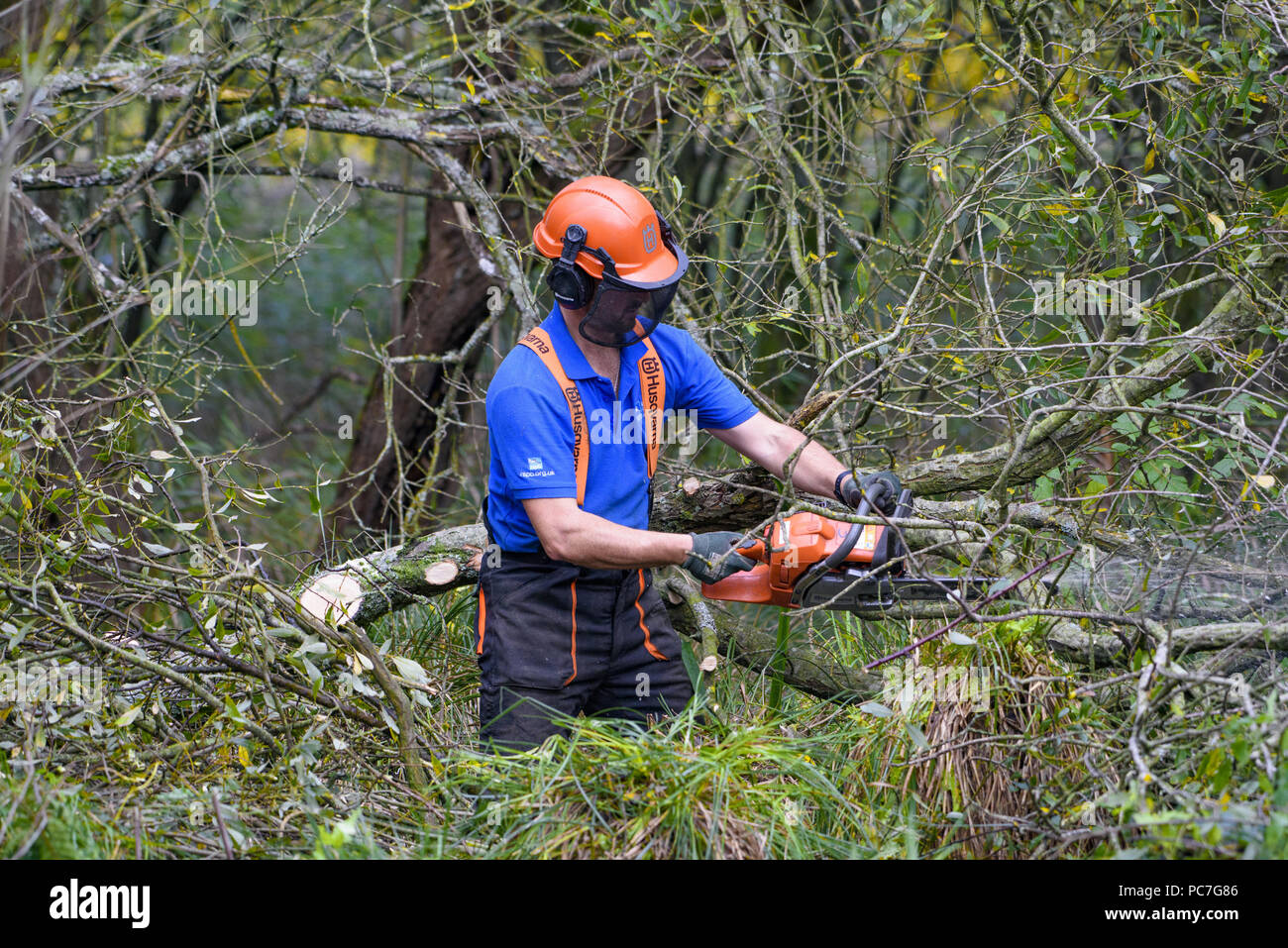 Man using a Husqvarna chainsaw to thin out a wood, RSPB Leighton Moss, Silverdale, Carnforth, Lancashire. - Stock Image