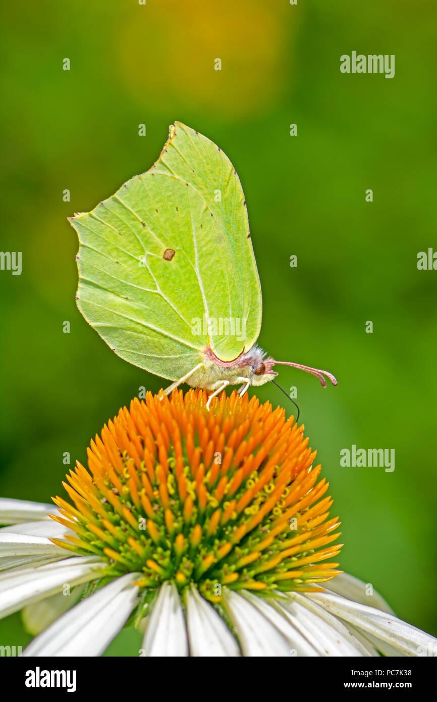 Brimstone butterfly (gonepteryx rhamni) on a echinacea flower blossom - Stock Image