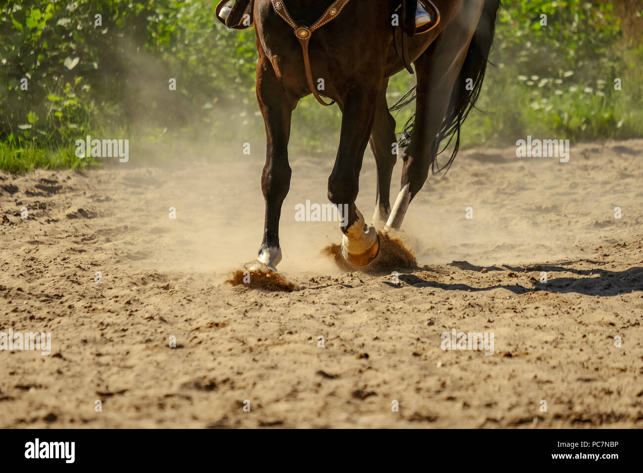 brown horse feet making dust in sand field. running gallop in summer - Stock Image