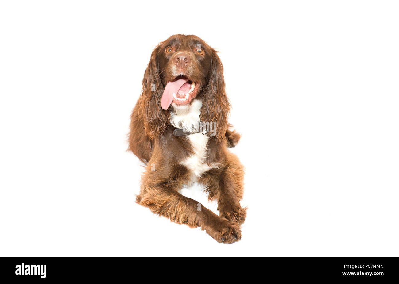 Male Sprocker Spaniel sat down on isolated white background - Stock Image