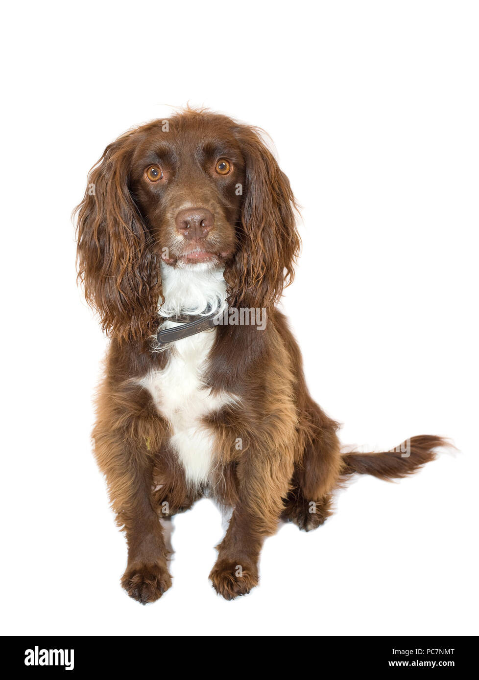 Male Sprocker Spaniel on isolated white background - Stock Image