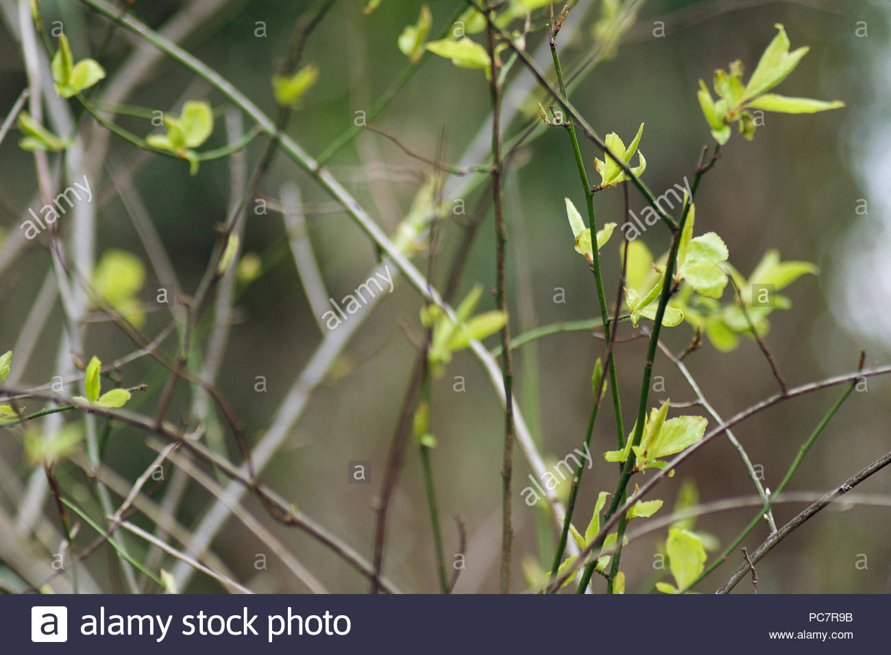 Branches and plant stems with small leaves - Stock Image