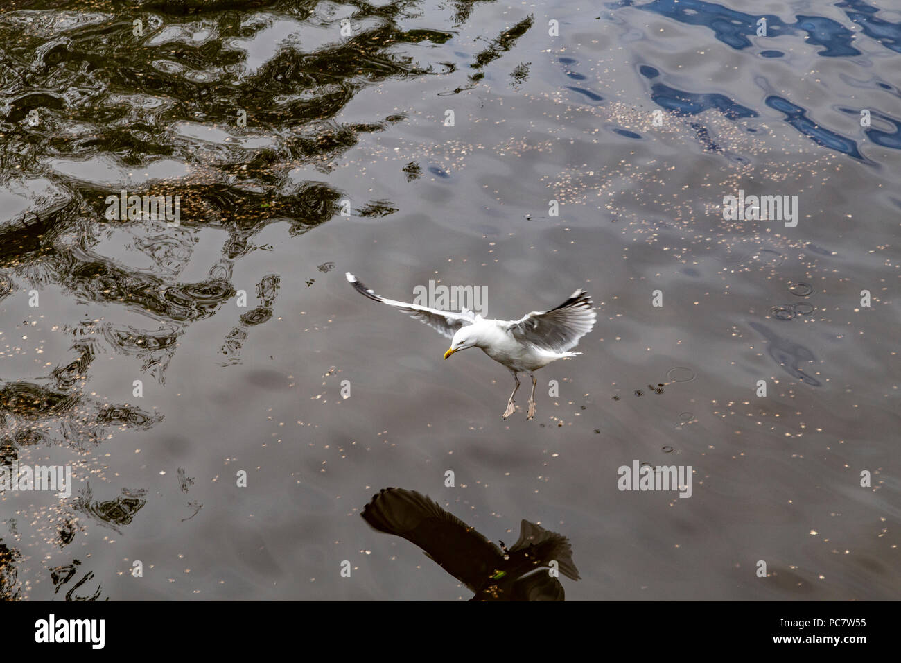Birds in canals of Amsterdam, Netherlands Stock Photo